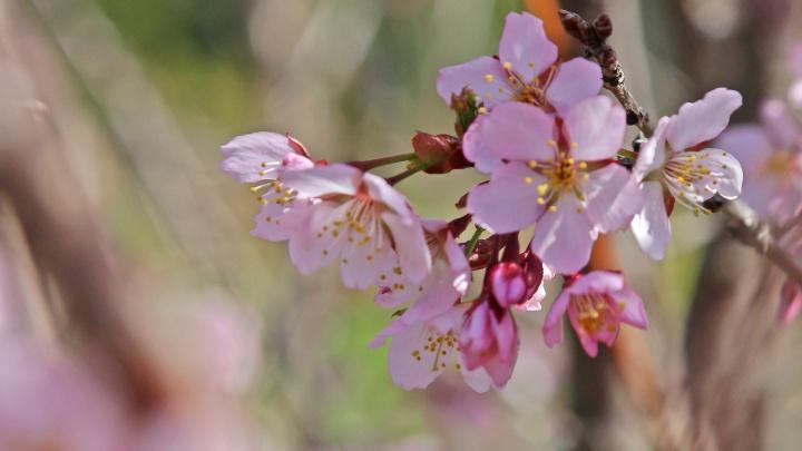 В Уфе расцвела сакура, самое время полюбоваться прекрасными деревьями