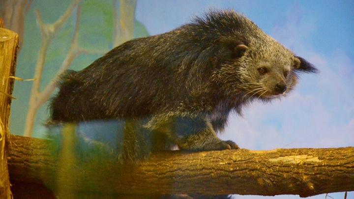 В Новосибирский зоопарк прилетел «кошачий медведь» из Германии