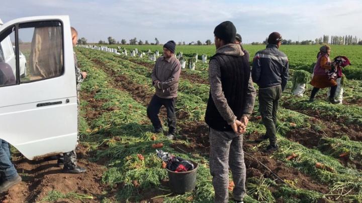 В Волгоградской области силовики задержали 70 нелегалов с морковкой