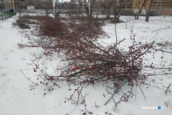 Последний раз жители заметили срубленные ветки и деревья у политехнического института в Студгородке
