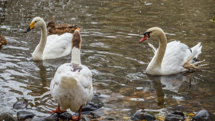Под Новосибирском начали гнездиться лебеди