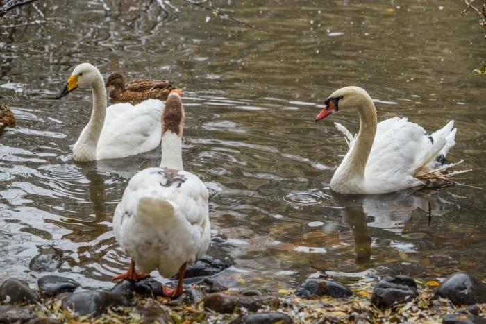 Лебеди живут парами — и самец, и самка воспитывают птенцов