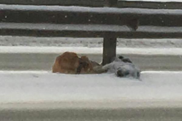 Пес охраняет тело погибшей собаки на одной из трасс в Башкирии