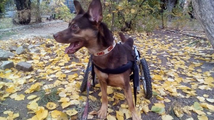 «Стреляли в спину»: волгоградские волонтёры спасают собаку-колясочницу с пулей в позвоночнике
