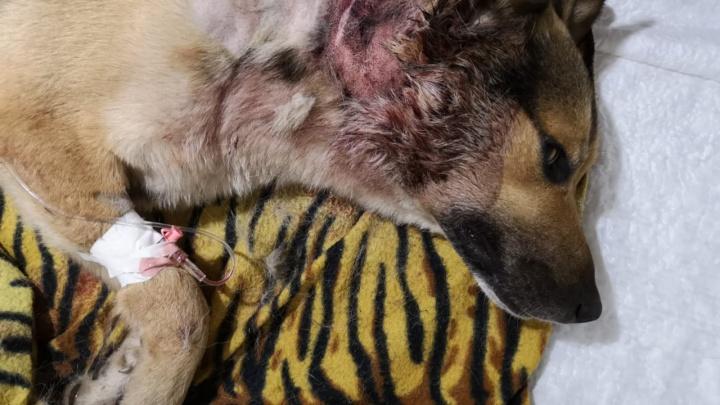 Грибники нашли собаку с пулевым ранением на обочине трассы под Новосибирском