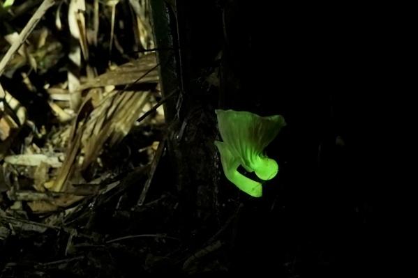 Святящийся гриб Neonothopanus gardneri в бразильском пальмовом лесу. Именно этот вид грибов был использован в исследовании