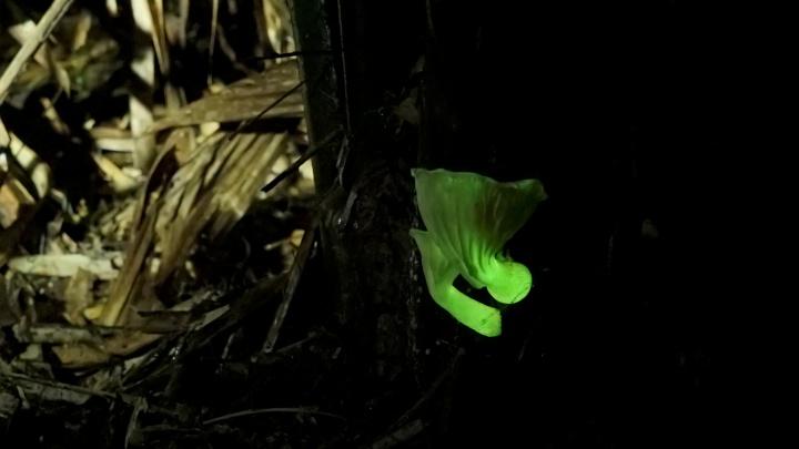 Красноярские ученые выяснили, почему светятся грибы, и создали светящиеся дрожжи