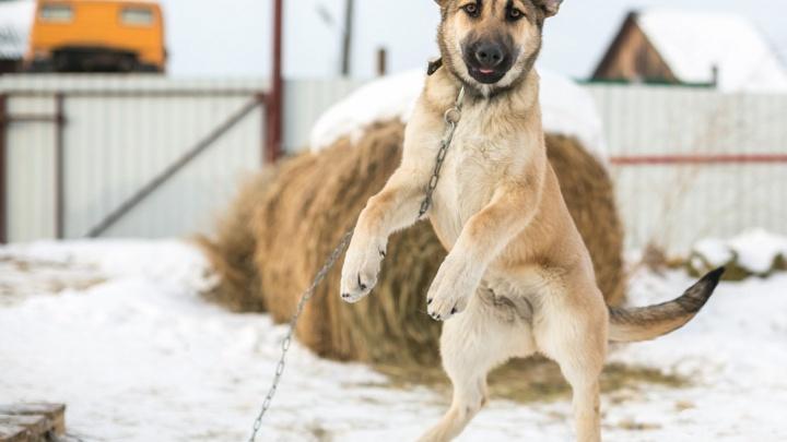 Собак на стройках и гаражах хотят обязать чипировать