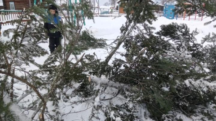 «Как так-то?!» Лесничий в Енисейском районе распилил новогоднюю ель на куски