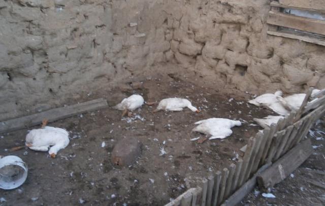 Лиса или чупакабра: в Башкирии зверь положил 12 гусей