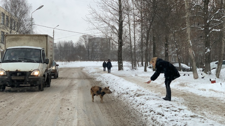 По Ярославлю разгуливают дикие свиньи: видео