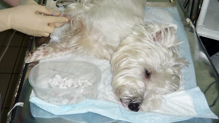 «Нам сказали — усыпляйте собаку»: жители Ханты-Мансийска отправились в Курган спасать питомца