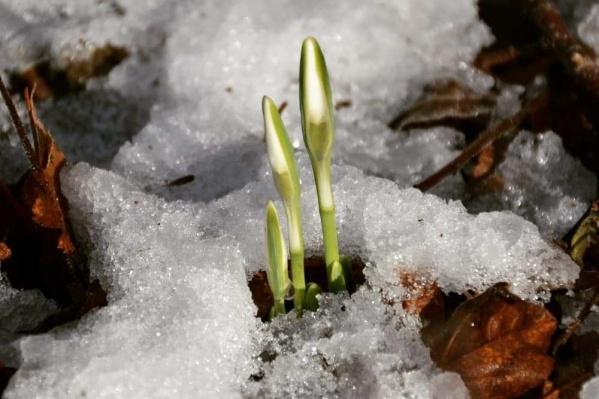 Несмотря на то, что подснежник появляется по весне, он способен выдержать десятиградусный мороз<br><br>