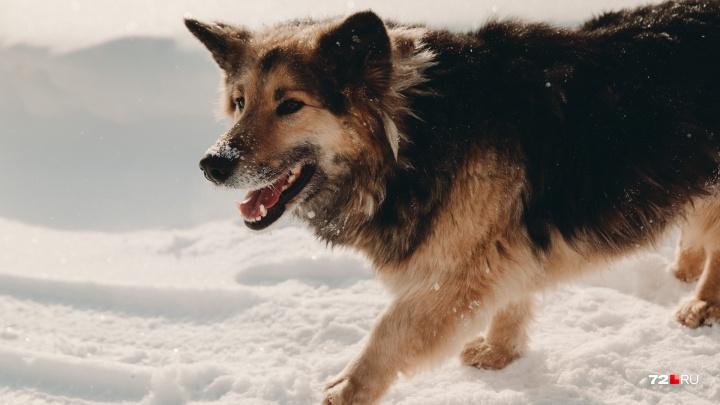 «Уже отменяют занятия на улице»: под Тюменью бродячие собаки атаковали школу