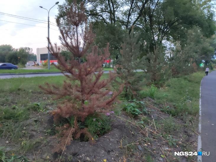 Теперь в УЗС планируют посадить на месте старых деревьев новые