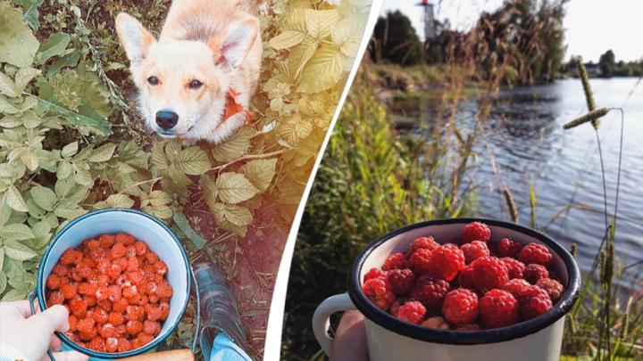 Малиновый бум: смотрим, какие ягоды собирают в Архангельской области