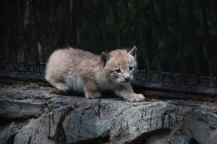 Котенок сибирской рыси в Новосибирском зоопарке