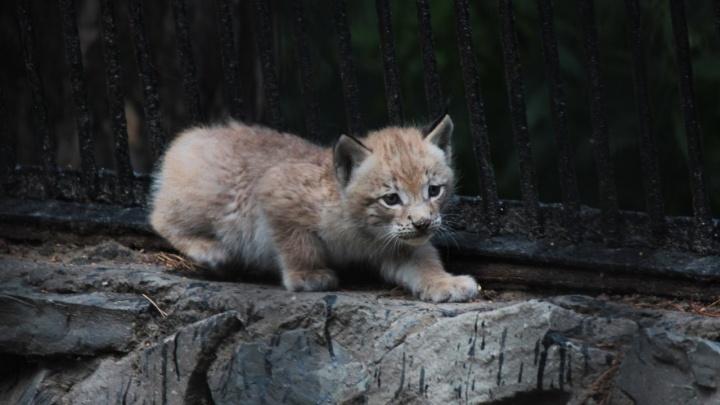 Котята с кисточками: 8 милых фото новорождённых рысят из Новосибирского зоопарка