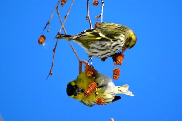 Некоторые птицы удивляют своим пёстрым оперением