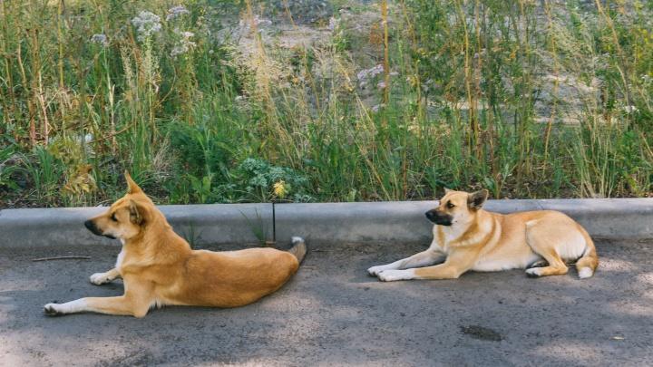 В Ленинском округе Омска вводят карантин из-за бешеных животных