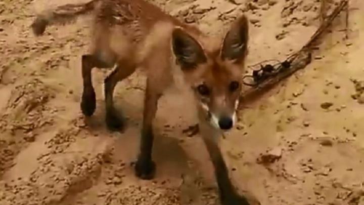 В Волгоградской области истощённый лисёнок пришёл к людям за едой
