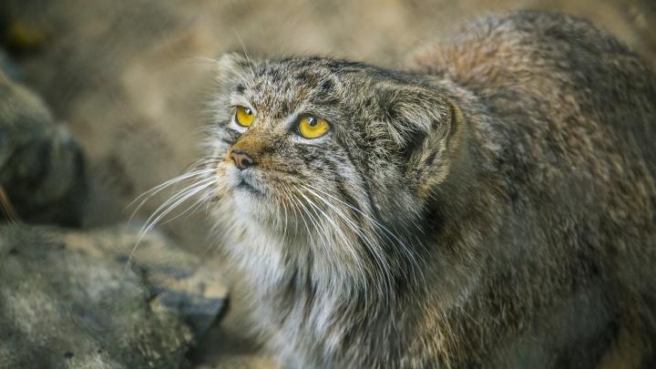 Не гладь кота: зоопарк позвал волонтёров для защиты зверей от посетителей