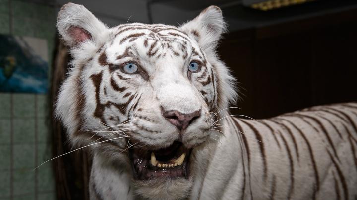 Мать белой тигрицы из Новосибирского зоопарка стала чучелом в музее