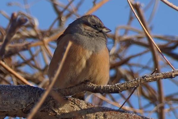 Маленькие птички — овсянки Годлевского — весят 19–30 граммов