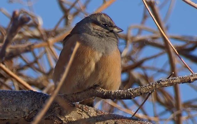 Ищут лучшей жизни: на юг края заглянули редкие птички, похожие на воробьёв