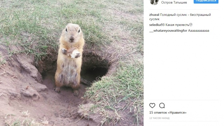 «Гадость какая-то»: чем красноярцы кормят сусликов на Татышеве