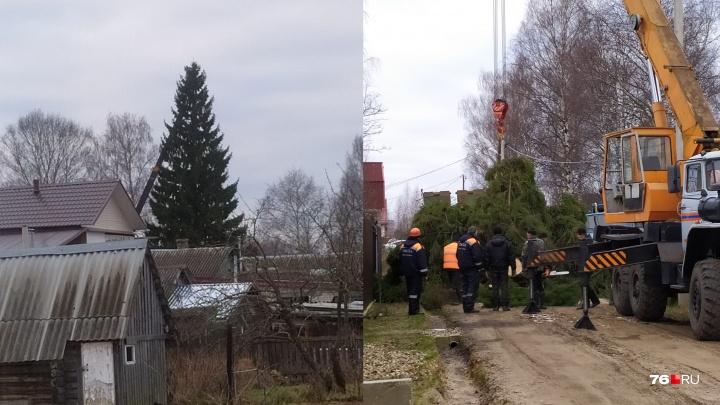 «50 лет росла красавица»: в ярославском посёлке срубили шикарную ёлку, чтобы поставить её в городе