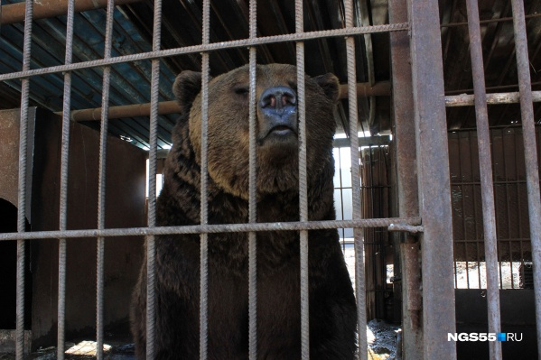 Глядя в глаза Балу, понимаешь, почему наши предки считали, что люди произошли от медведей