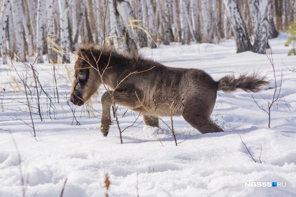 Там, где взрослой лошади сугроб не достаёт до колена, Есаул проваливается чуть ли не полностью