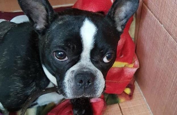 Бульдог Чак, которого хозяин бросил в ветеринарной клинике после аварии, скончался спустя неделю