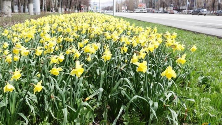 Уфа цветочная: на проспекте Октября расцвели ирисы и тюльпаны