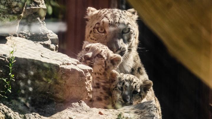Барсят, родившихся в мае, впервые показали посетителям пермского зоопарка