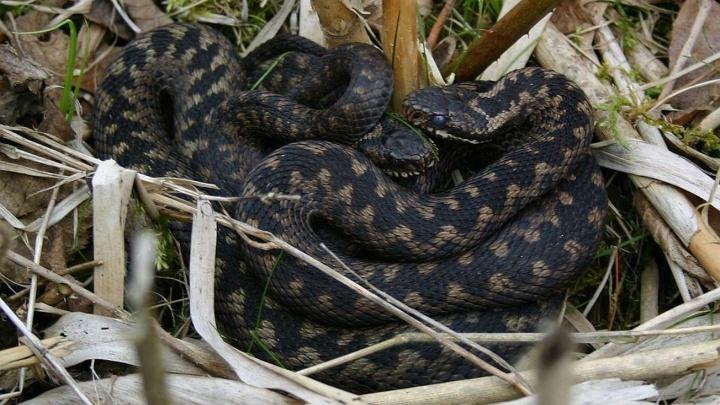 В заповеднике «Столбы» обитает всего 3 вида змей. Учимся их различать
