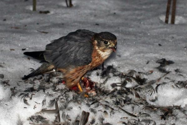 Хищник поедал свою добычу прямо в центре Архангельска