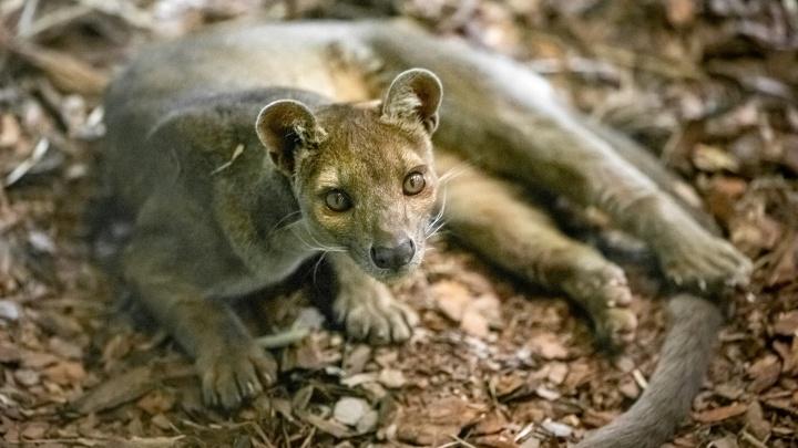 В Новосибирском зоопарке поселились редкий хищник с Мадагаскара и кошки, которых в России больше нет