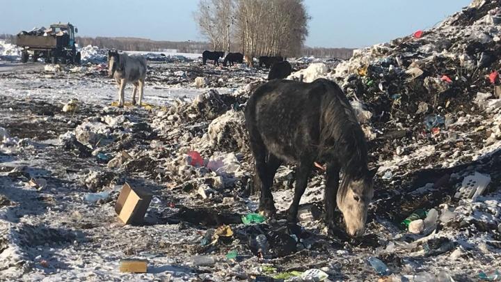 Сотни голодных животных пасутся на свалке в Миндерле после ареста хозяина