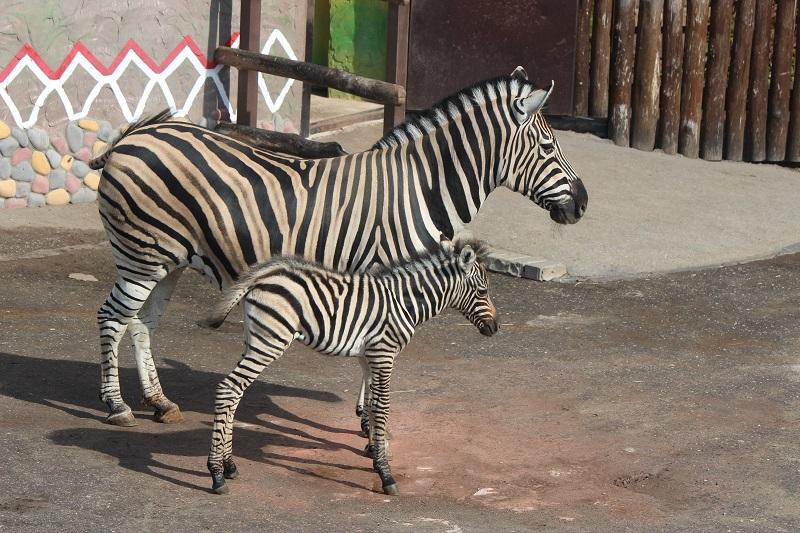 У зебр счастливая семья<br><br>