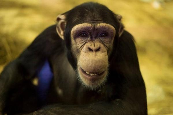 Шимпанзе исполнилось девять лет