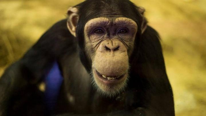 В Ростовском зоопарке шимпанзе отпразднует свое девятилетие