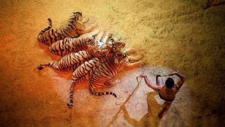 Итальянский цирк «Слоны и тигры» дает заключительные представления