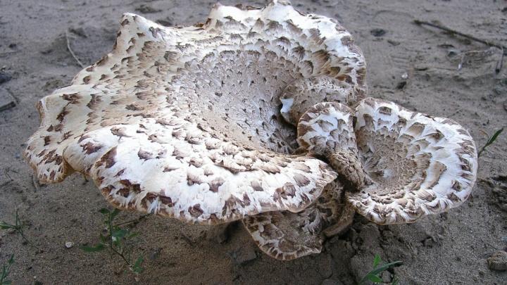 Собирал сам: в Волгограде от отравления грибами умер мужчина