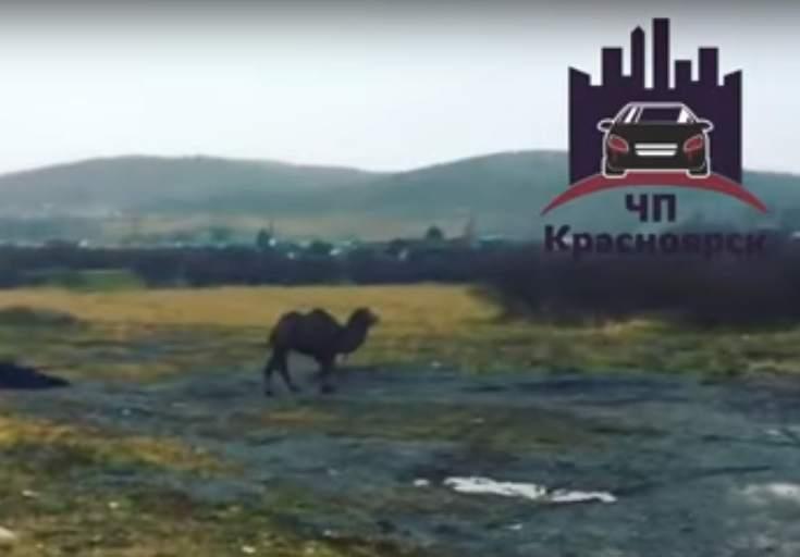Под Красноярском гуляющий верблюд попал навидео