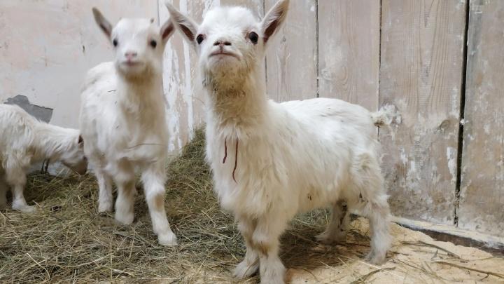 Хозяин держал на улице и почти не кормил: уральские ветеринары приютили шестерых брошенных козлят