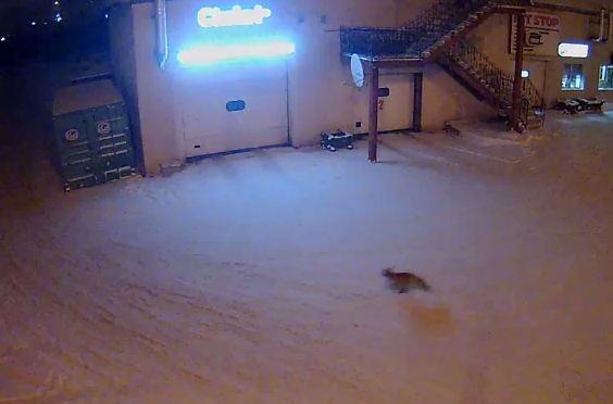 Голодная лиса пришла на автомойку на окраине «Солнечного»