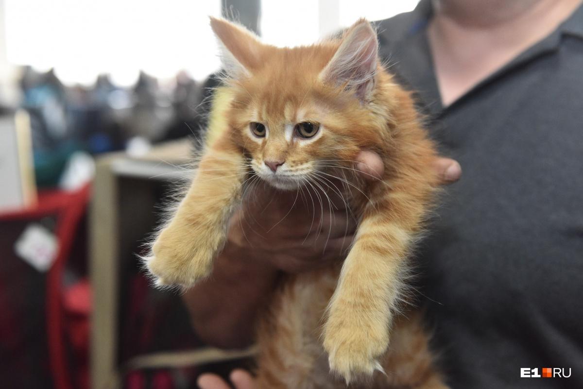 Фоторепортаж с хвостами и лапками: лучшие кадры с выставки кошек в Екатеринбурге