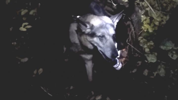 В Заволжском районе собака провалилась в двухметровый колодец: видео спасения